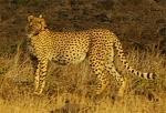 small-cheetah