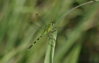 Perfectly camouflaged dragonfly